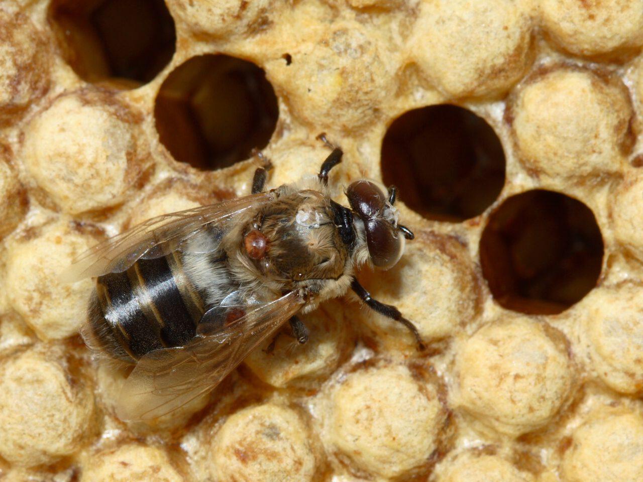 varroapunkki mehiläisten riesana